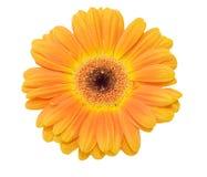عالم الألوان gerbera-flower-isola
