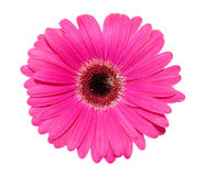 Gerbera flower isolated over white Stock Photography