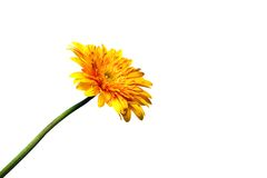 Gerbera flower isolated on white. Background Royalty Free Stock Photos