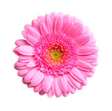 Gerbera flower Stock Photography