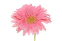The gerbera flower isolated on white Royalty Free Stock Images