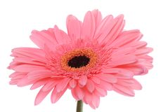 The gerbera flower isolated on white Stock Image