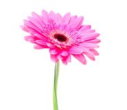 Gerbera flower isolated on white background Stock Photography