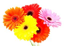Gerbera flower isolated on white background Royalty Free Stock Photos