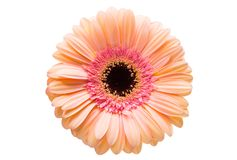 Gerbera flower isolated. On white background Stock Photo