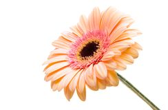 Gerbera flower isolated. On white background Royalty Free Stock Photo