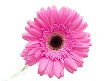 Gerbera flower isolated on white background Stock Images