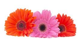 Gerbera flower isolated on white background Stock Image