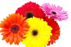 Gerbera flower isolated on white background Royalty Free Stock Photo