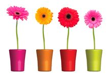 Gerbera flower isolated on white background Royalty Free Stock Photography
