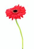 Gerbera flower isolated on white background Royalty Free Stock Image