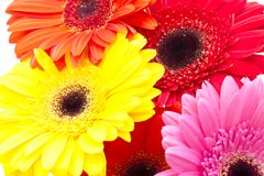 Gerbera flower isolated on white background Stock Photos