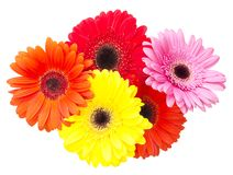 Gerbera flower isolated on white background Royalty Free Stock Images