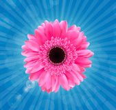 Gerbera Flower Isolated on White Background Vector Royalty Free Stock Photo