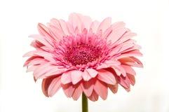 Gerbera flower isolated white Stock Image