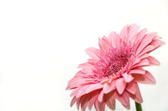 Gerbera flower isolated white Royalty Free Stock Image