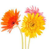 Gerbera flower isolated on whitebackground Stock Photography