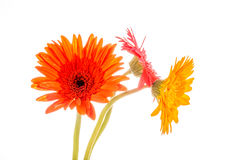 Gerbera flower isolated on whitebackground Royalty Free Stock Photos