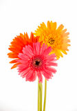Gerbera flower isolated on whitebackground Royalty Free Stock Photography
