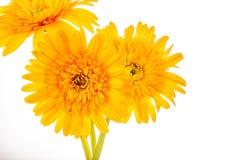 Gerbera flower isolated on whitebackground.  Stock Image