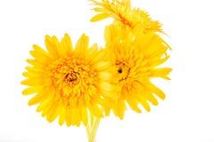 Gerbera flower isolated on whitebackground Royalty Free Stock Photos