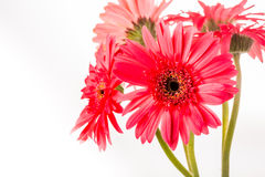 Gerbera flower isolated on whitebackground Stock Image