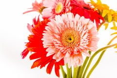 Gerbera flower isolated on whitebackground Royalty Free Stock Images