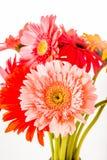 Gerbera flower isolated on whitebackground.  Stock Images