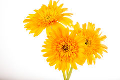 Gerbera flower isolated on whitebackground.  Stock Photo