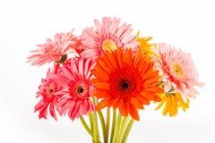 Gerbera flower isolated on whitebackground Stock Images