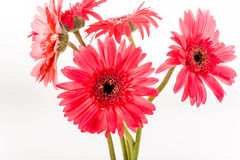 Gerbera flower isolated on whitebackground.  Stock Photos