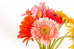 Gerbera flower isolated on whitebackground Stock Photos