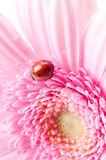 Gerbera flower and ladybug Royalty Free Stock Photography