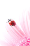 Gerbera flower and ladybug Royalty Free Stock Photos