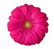 Gerbera flower of magenta color isolated on white background.  stock images