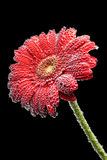 Gerbera flower in the mineral water Royalty Free Stock Image
