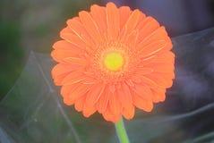 Gerbera flower orange. A gerbera flower orange in the garden royalty free stock photo