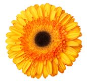 Gerbera flower orange and yellow isolated on white background.  royalty free stock photos