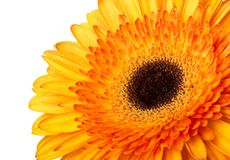 Gerbera flower orange and yellow isolated on white background.  stock images