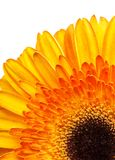 Gerbera flower orange and yellow isolated on white background.  stock photography