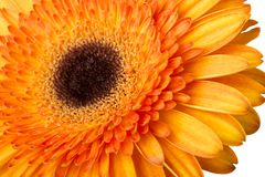 Gerbera flower orange and yellow isolated on white background.  royalty free stock images