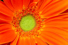 Gerbera Flower Orange Yellow Petals Green Carpels Close up. Stamens Receptacle Carpels and Petals are shown in this flower portrait Stock Photos