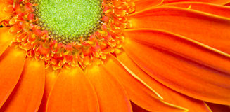 Gerbera Flower Orange Yellow Petals Green Carpels Close up. Stamens Receptacle Carpels and Petals are shown in this flower portrait Royalty Free Stock Photos