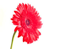 Gerbera flower over white. Red Gerbera flower isolated on white Stock Images