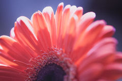 Gerbera flower petals Royalty Free Stock Photography