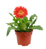 Gerbera flower in pot Stock Image
