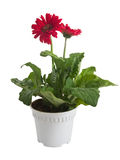Gerbera flower in pot on white Stock Images