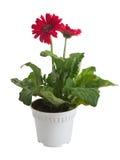 Gerbera flower in pot on white Stock Images