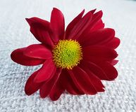 Red gerbera flower. Beautiful blossom closeup. Gerbera flower with red petals and yellow blossom. Beautiful flower stock photo