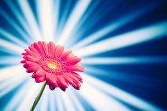 Gerbera flower on shiny background Stock Image